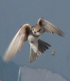Sand Martin turning in  flight, front (ventral) view